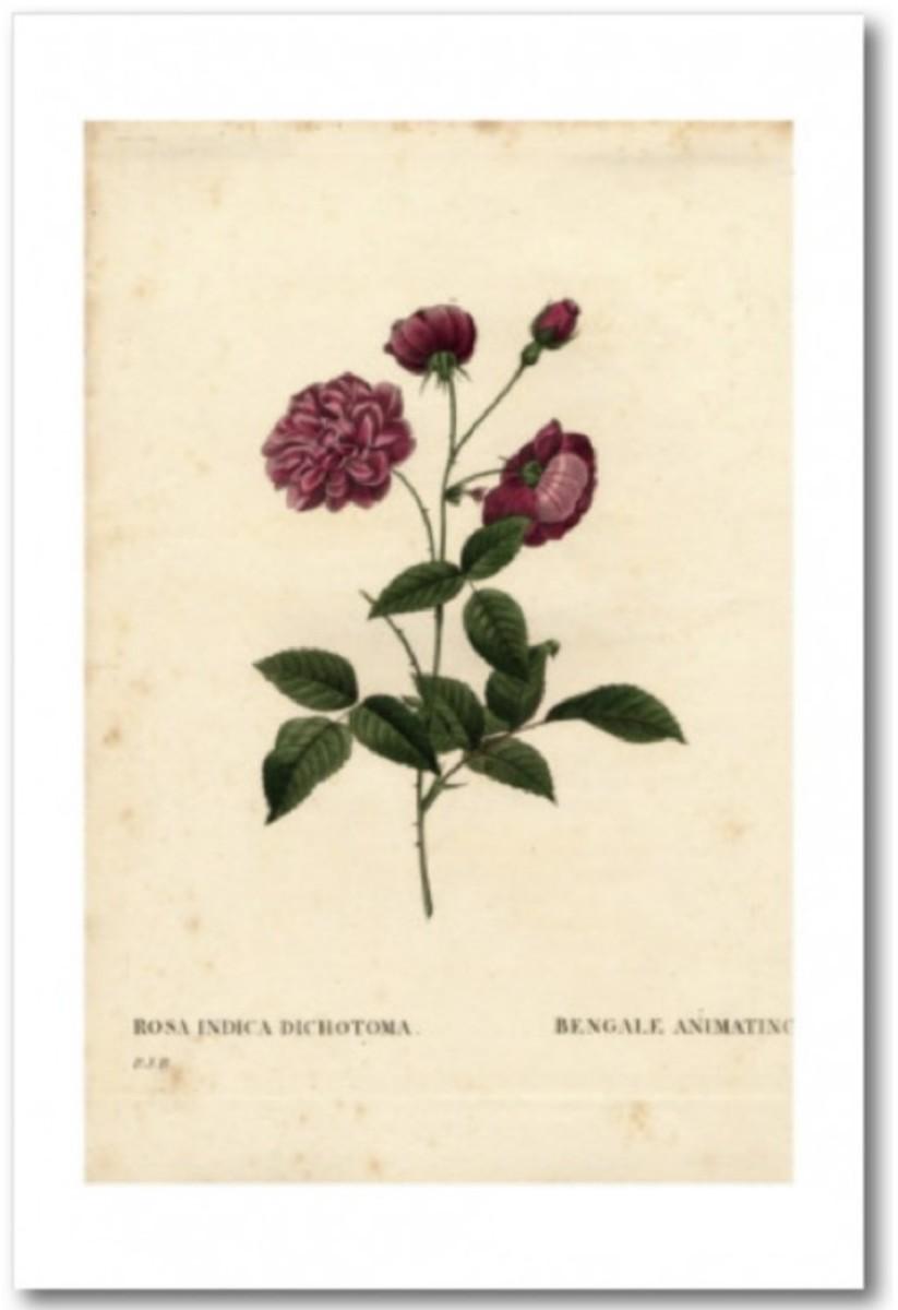 Hybrid China Rose by Pierre-Joseph Redouté