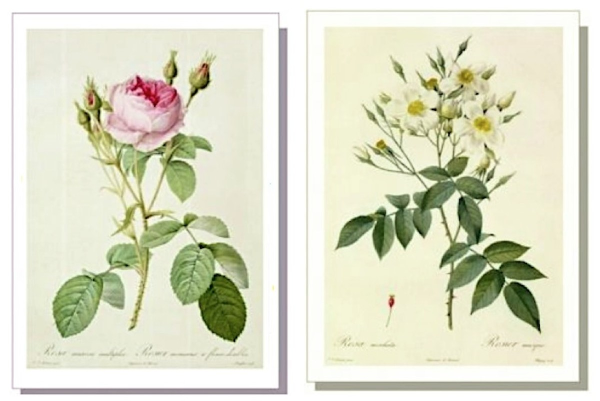Rosa Mucosa (left) and Rosa Moschata (right) by Pierre-Joseph Redouté