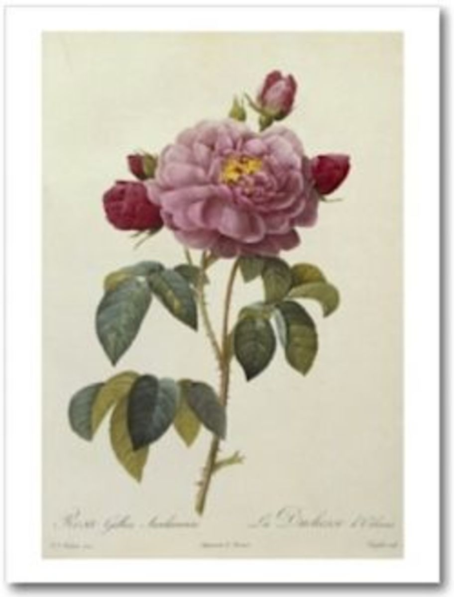 Rosa Gallica Officianalis by Pierre-Joseph Redouté