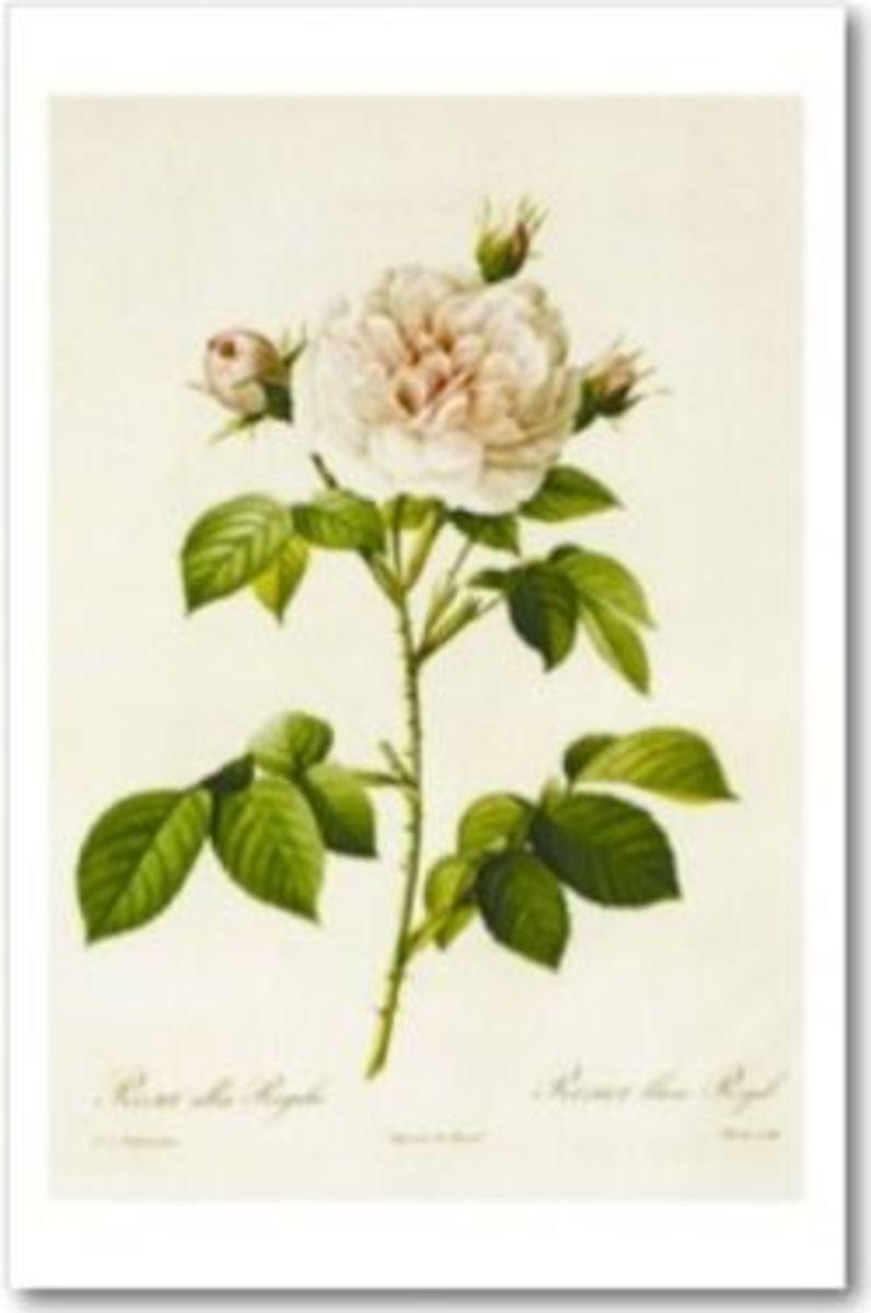 """Rosa Alba Regalis"" by Pierre-Joseph Redouté"