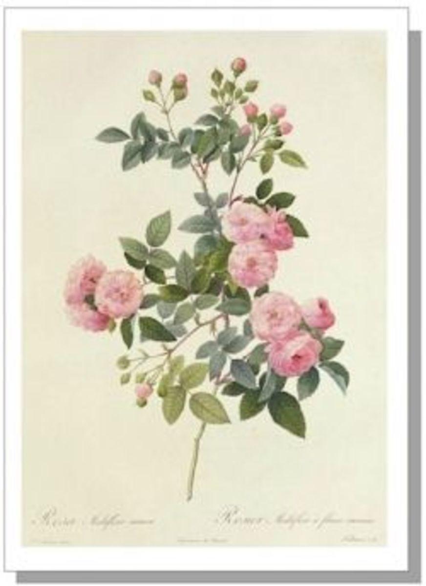 Rosa Multiflora by Pierre-Joseph Redouté