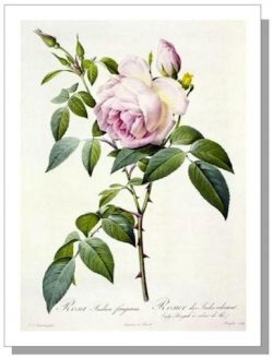 Tea Rose (R. indica fragrens) by Pierre-Joseph Redouté