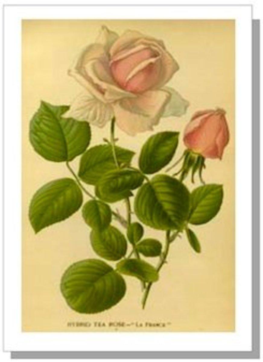 Hybrid Tea Rose D. Bois, 1896-97