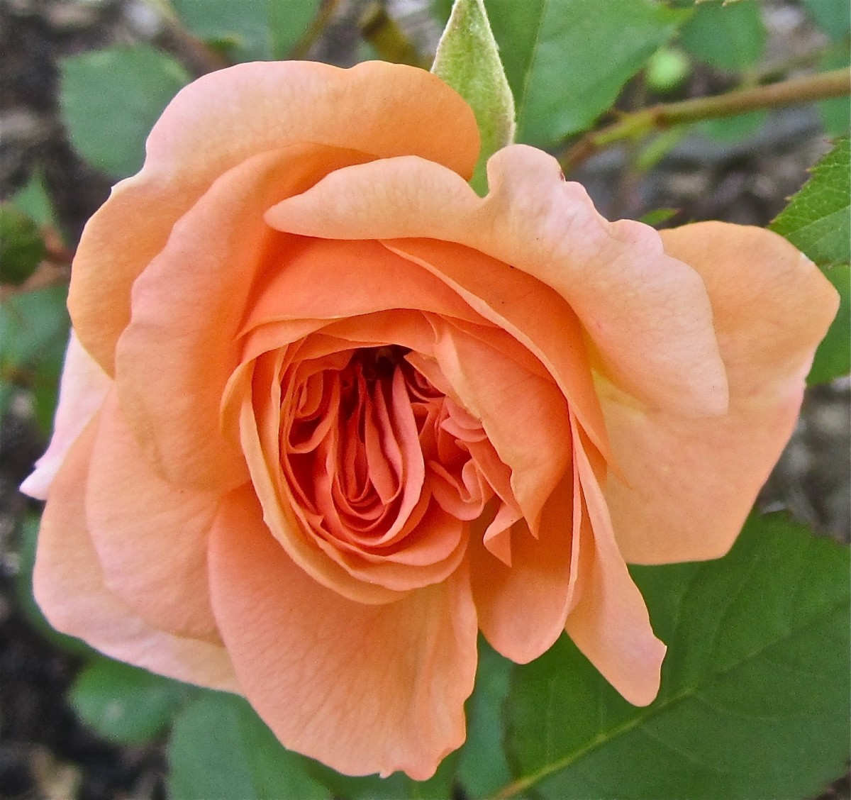 Bourbon Rose Louise Odier