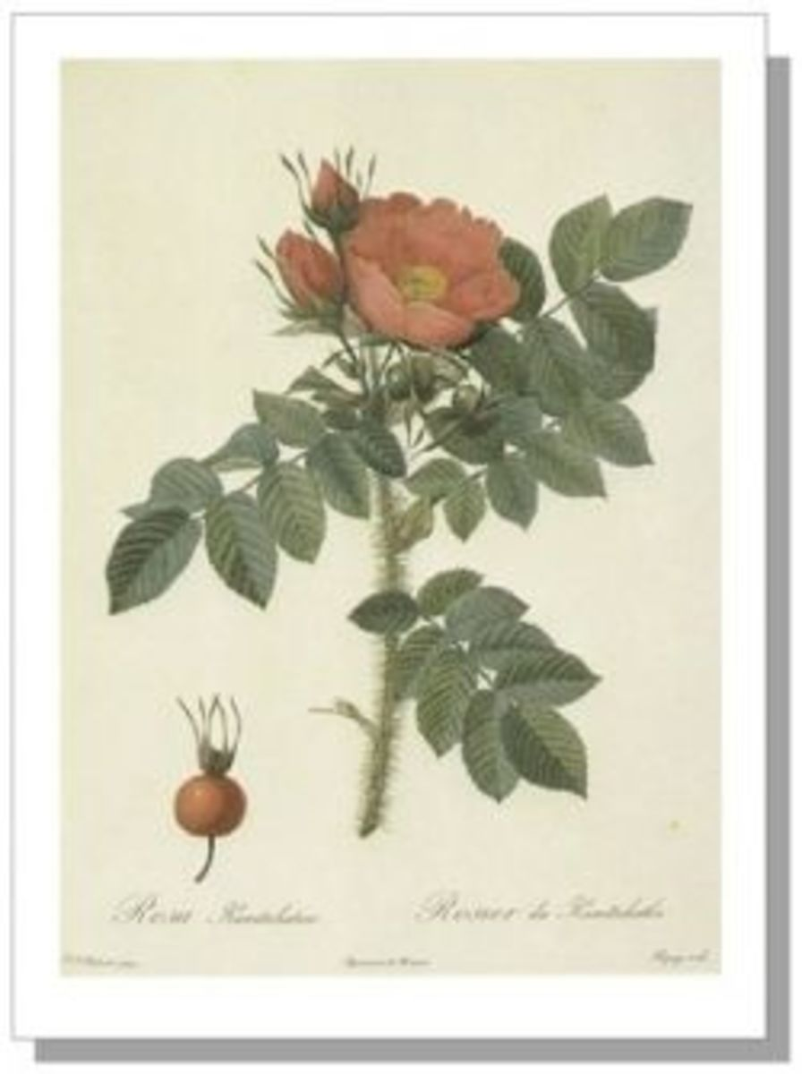 Rosa Kamchatka, a Japanese Rugosa, by Redoute