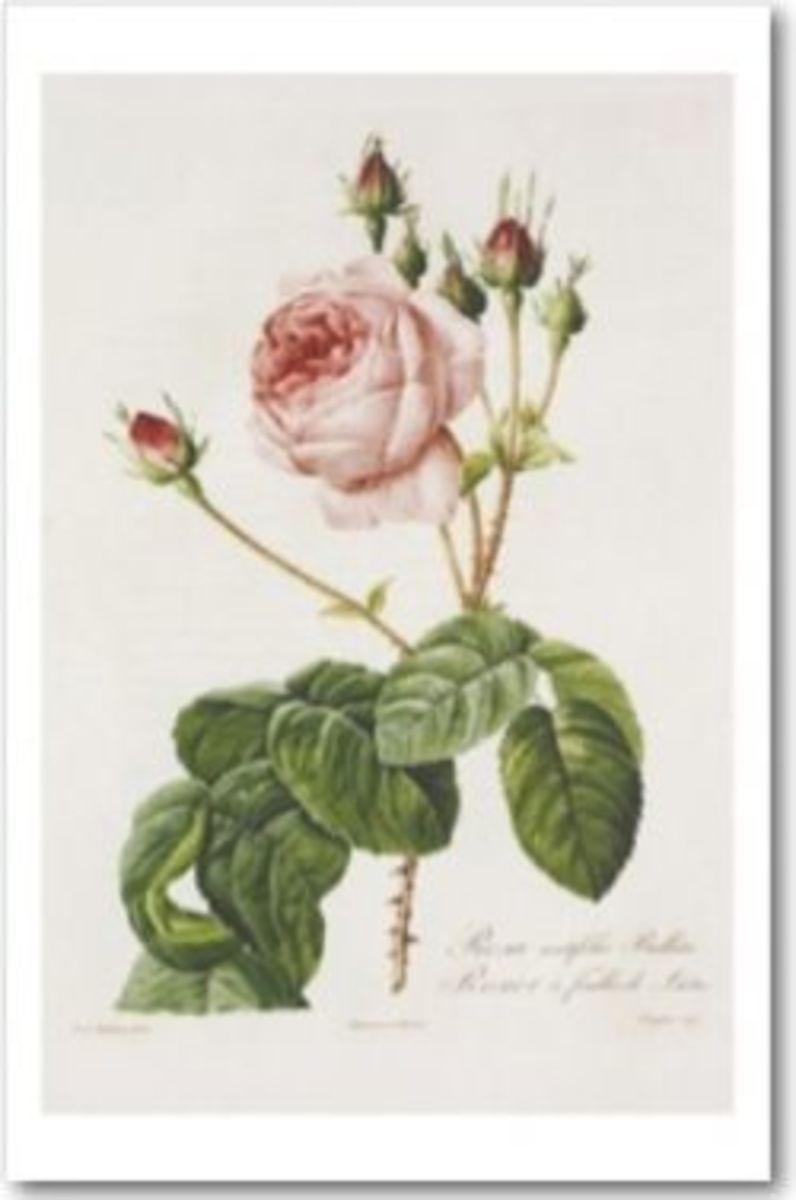 Rosa Centifolia Bullata by Pierre-Joseph Redouté