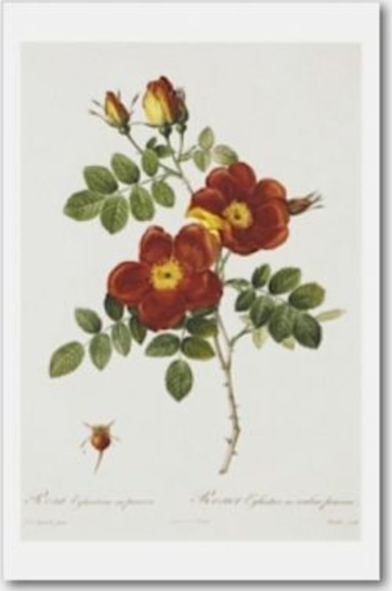Rosa Eglanteria var. punicea by Pierre-Joseph Redouté