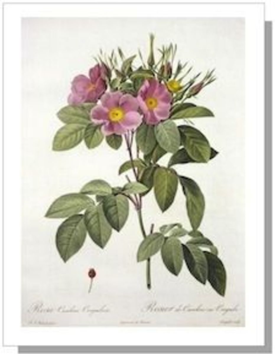 Species Rose: R. Carolina Corymbosa Botanical Illustration by Redoute