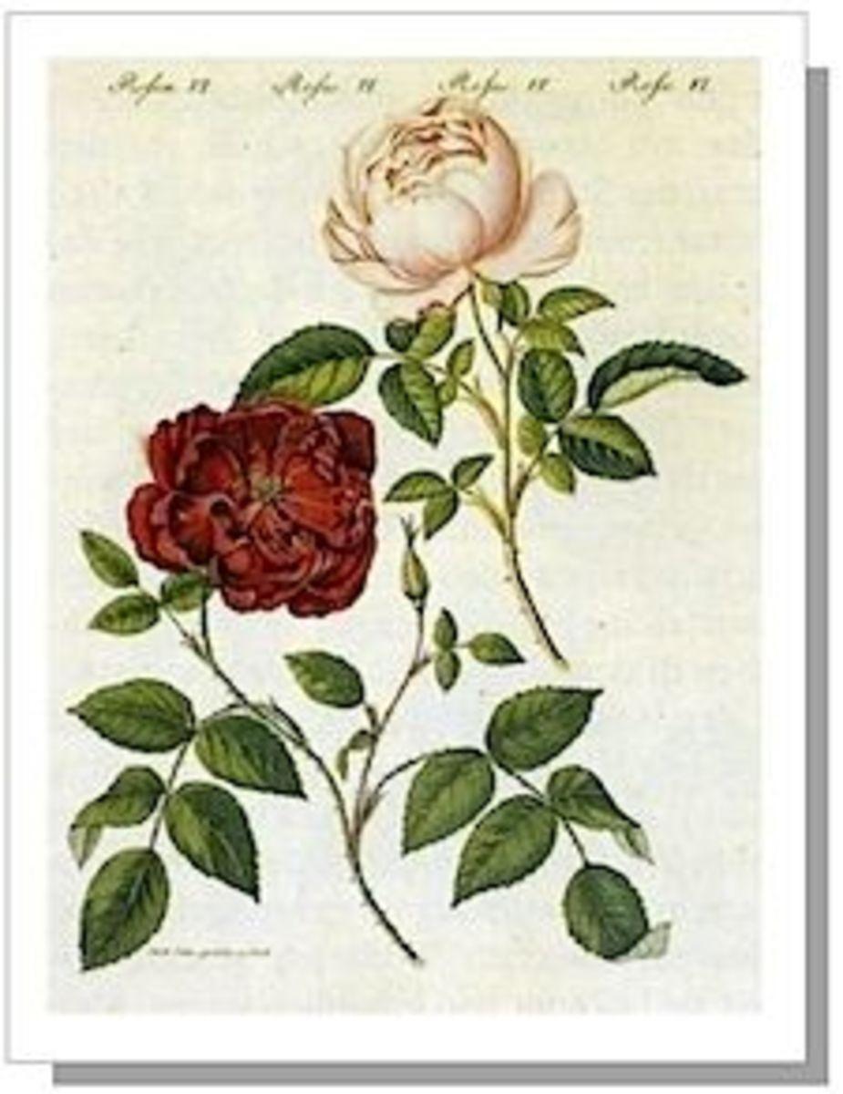 """Rosa chinensis"" by Bertuch, 1795"