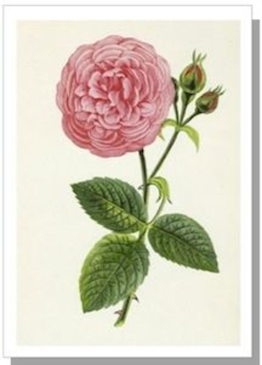 Louise Odier, a Bourbon Rose by Hippolyte Jamain, 1873.