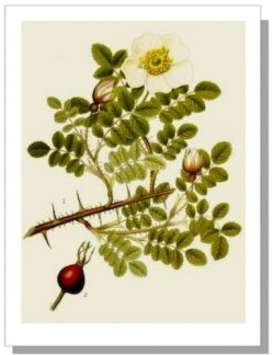 Rosa Pimpinellifolia Botanical Illustration, 1905