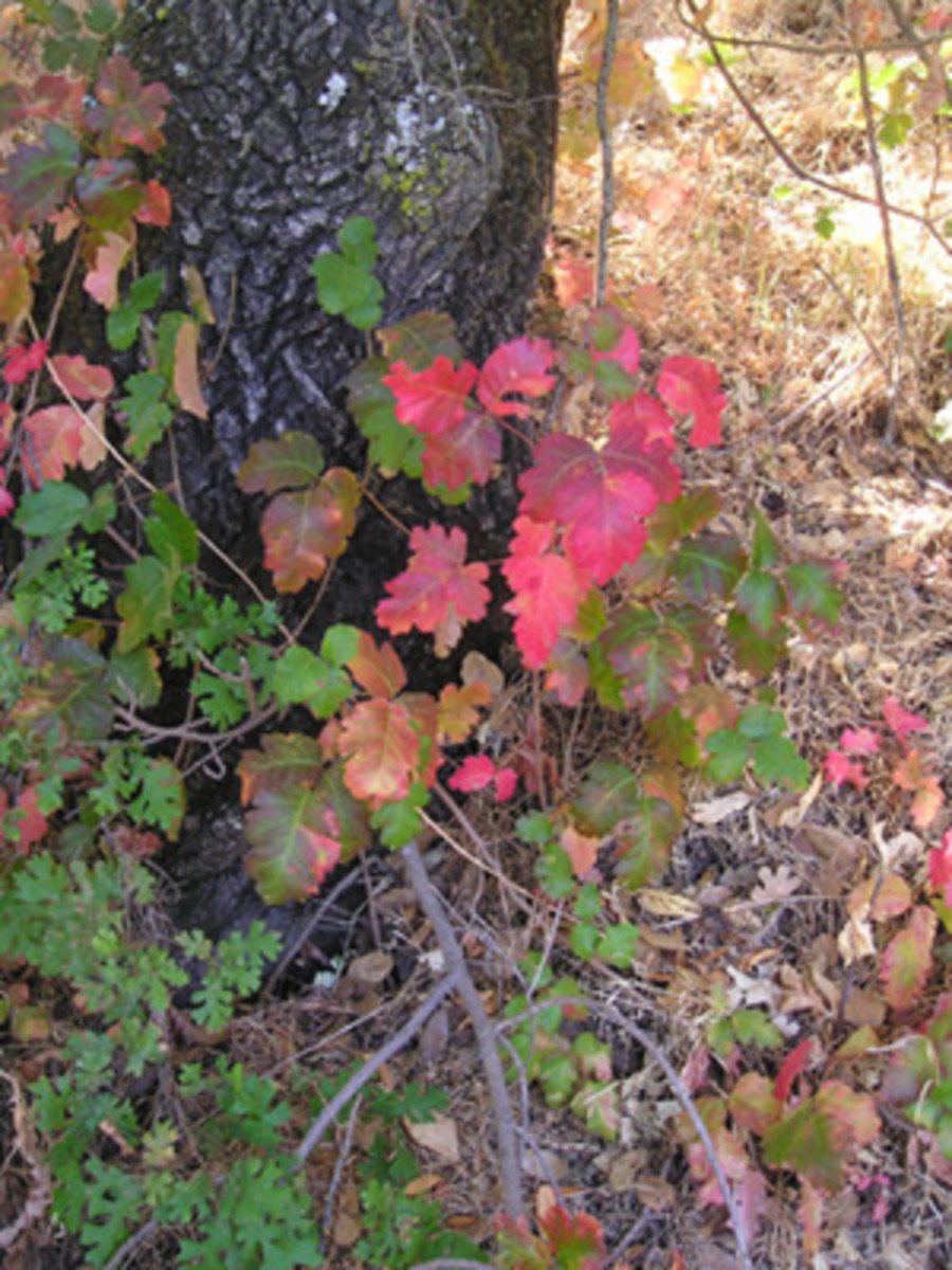 Colorful Poison Oak leaves