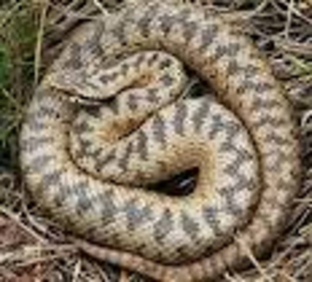 yellow-brown venomous snake