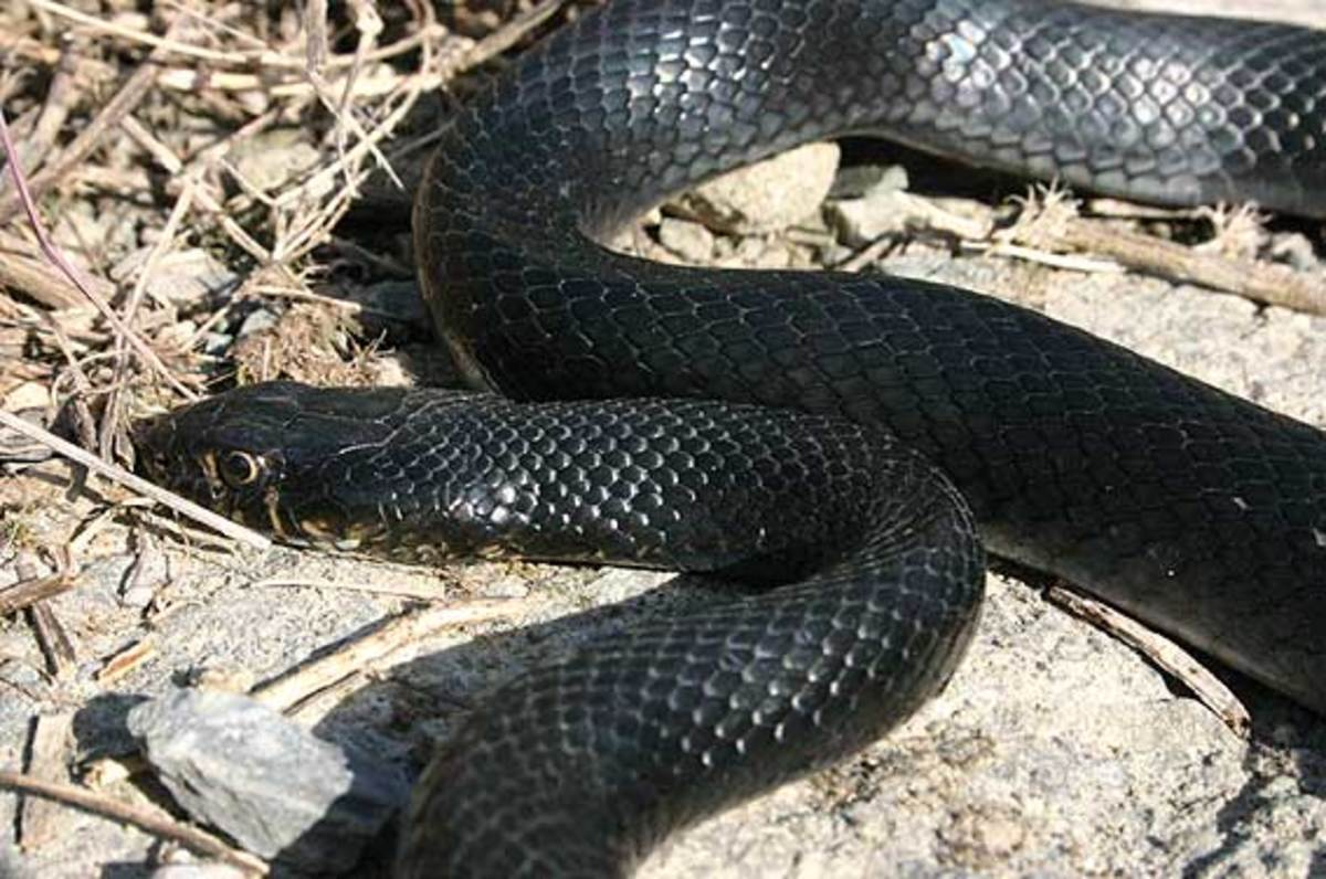 Black non- poisonous snake