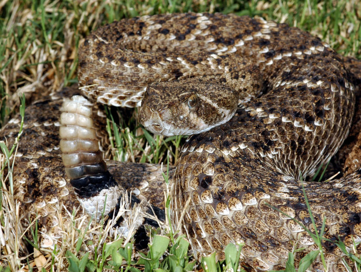 Western diamondback rattlesnake, another reason not to bushwhack in California.