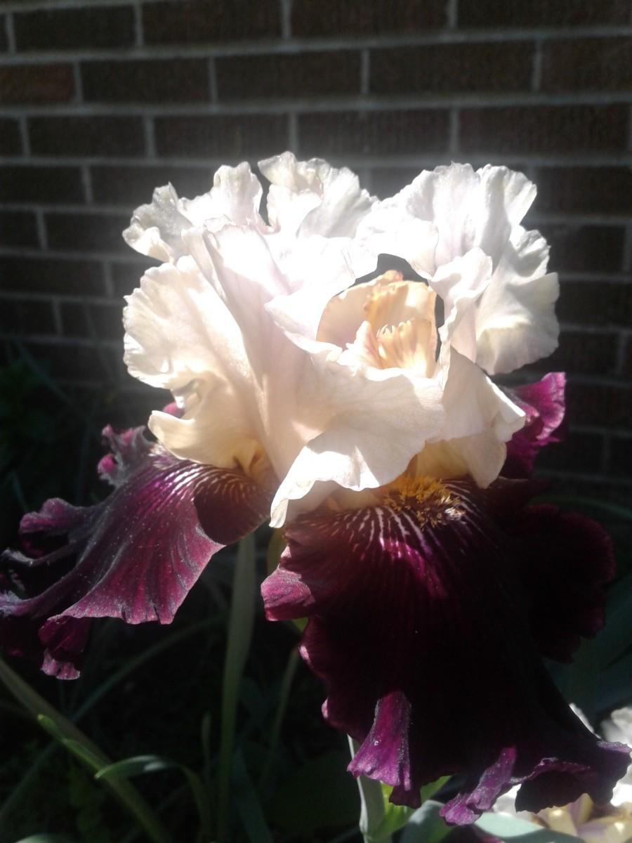 Purple Iris from this morning.