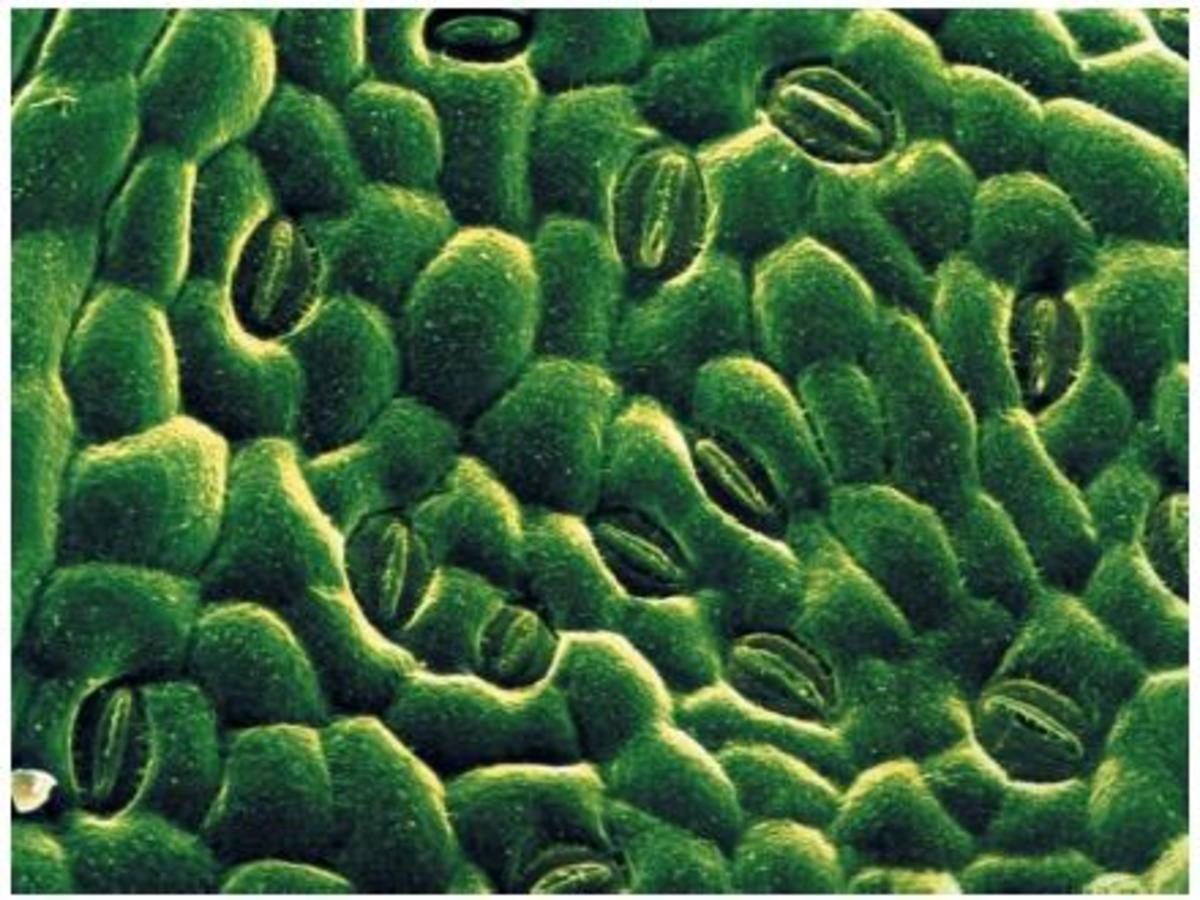 The Crucial Role of Stomata in Plant Transpiration and Photosynthesis