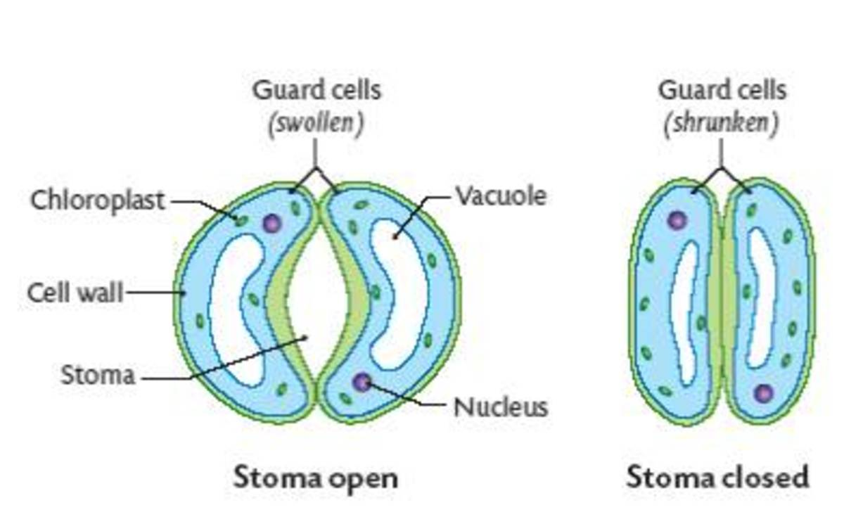Stomata opening and closing