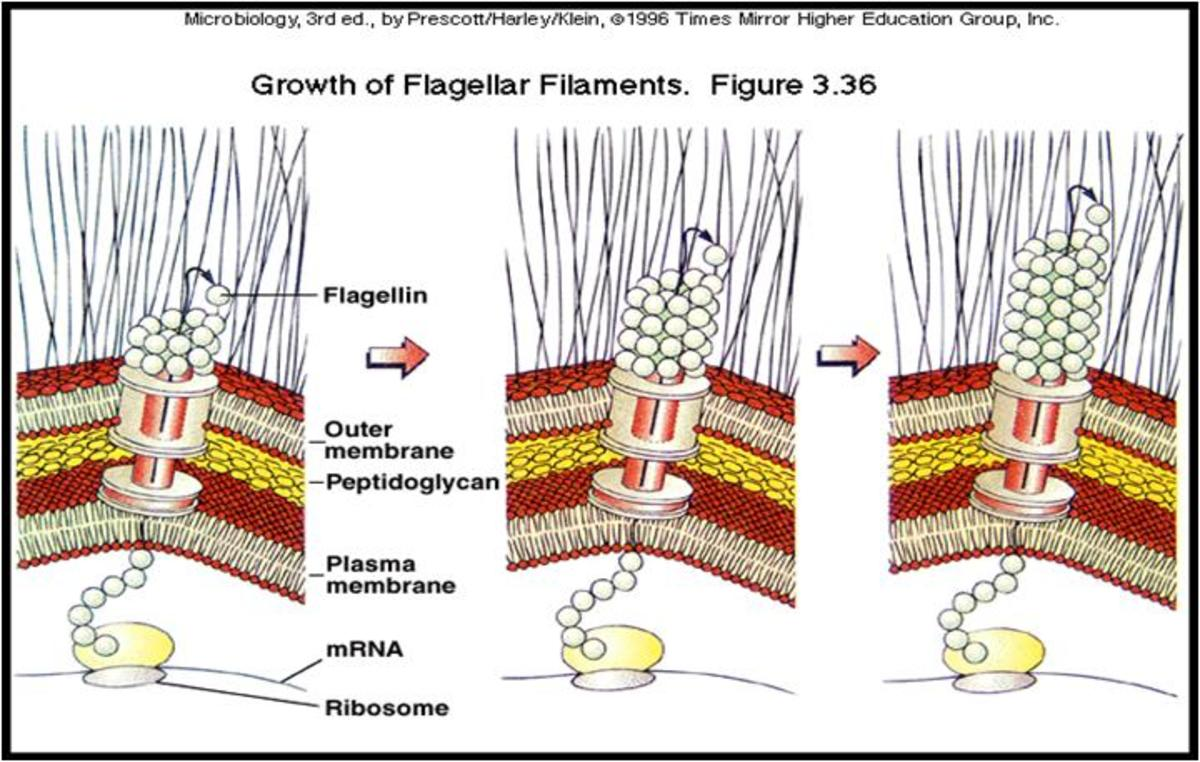 Growth of Flagellar Filament. Click to enlarge