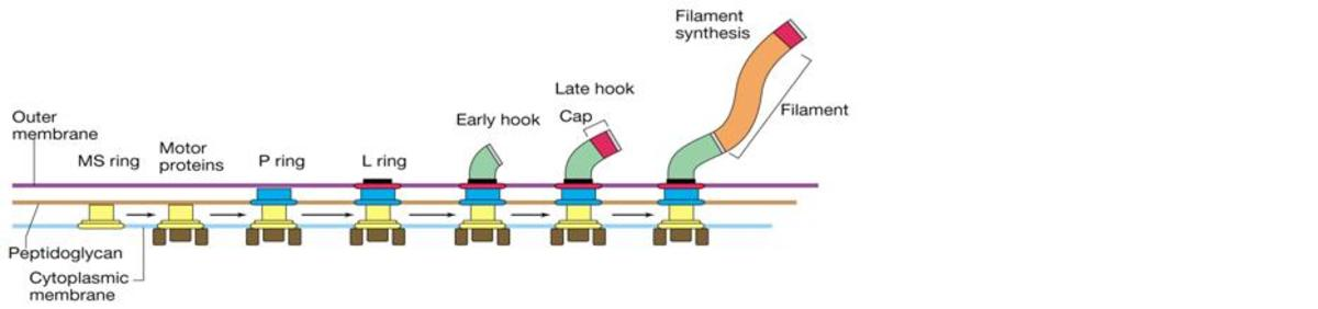 Example of Flagella Biosynthesis - Click to enlarge