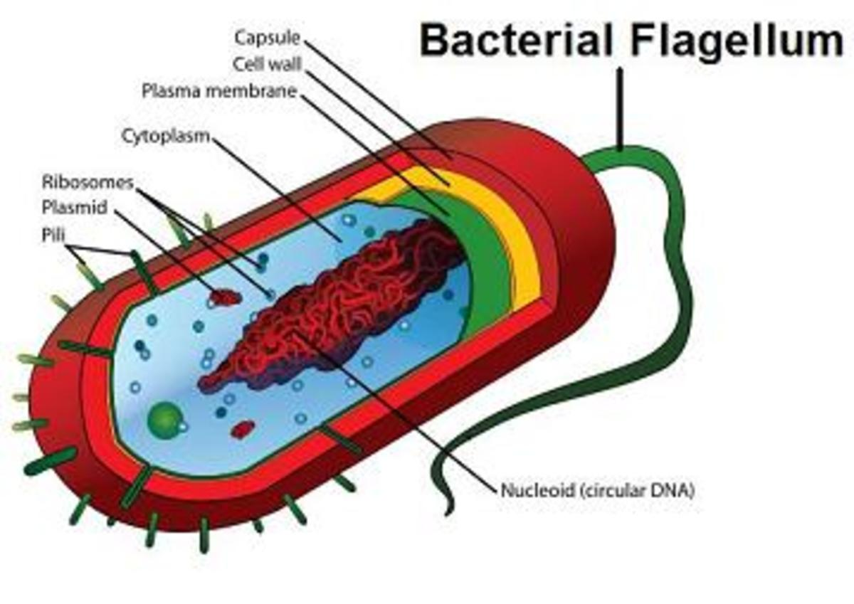 Example of  Bacteria with Flagellum