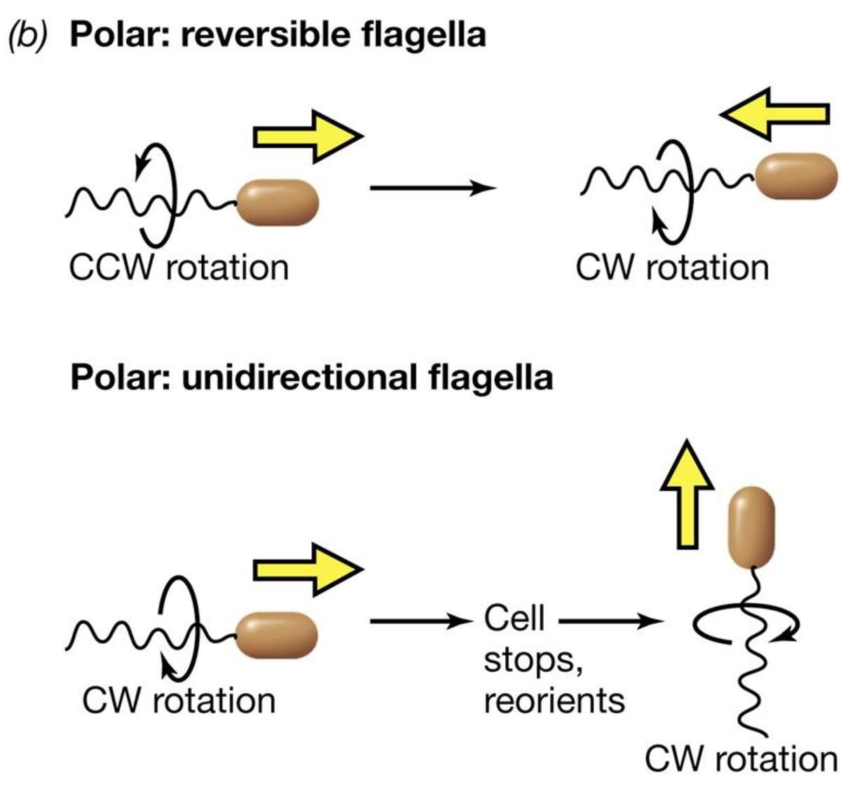 Polar: Reversible Flagella. Click to enlarge