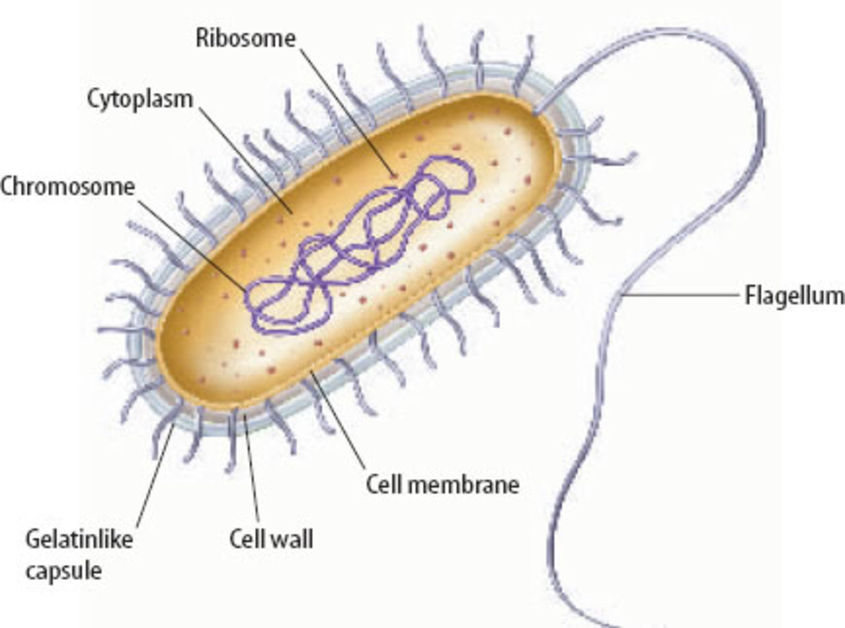 The Mechanism Behind Bacterial/Prokaryotic Motility