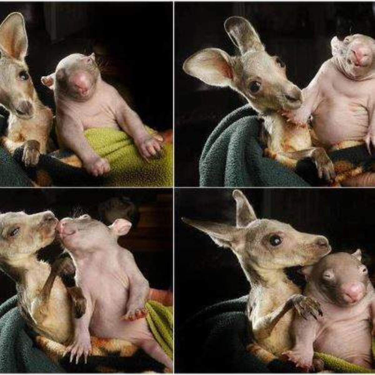 Orphaned kangaroo and wombat love each other. Read the story.