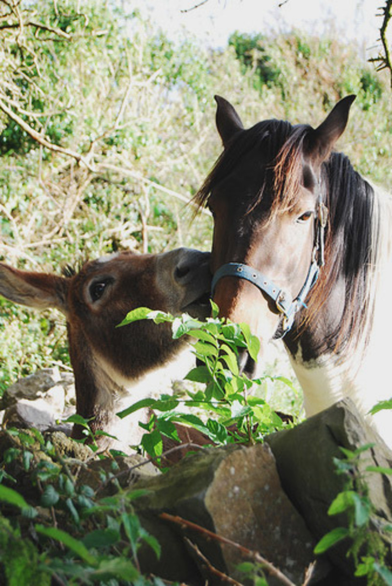 A True Story of Friendship of a Donkey and Horse.