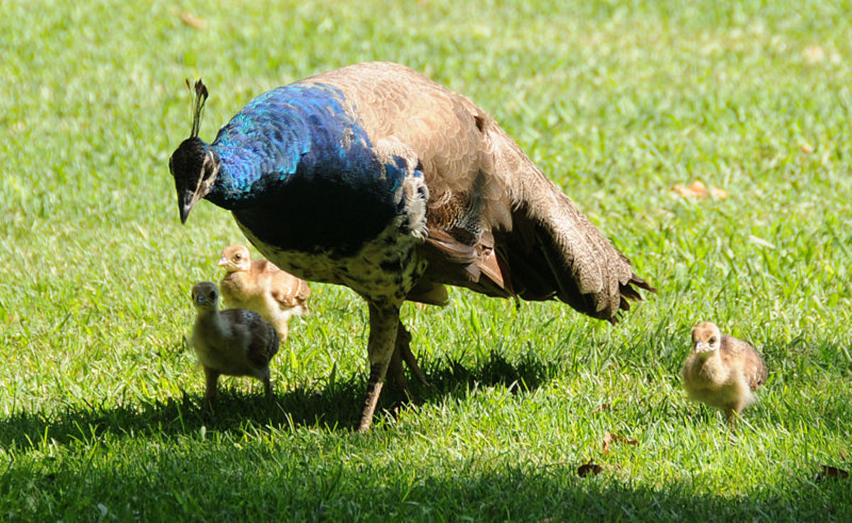 Pavo cristatus mother with chicks