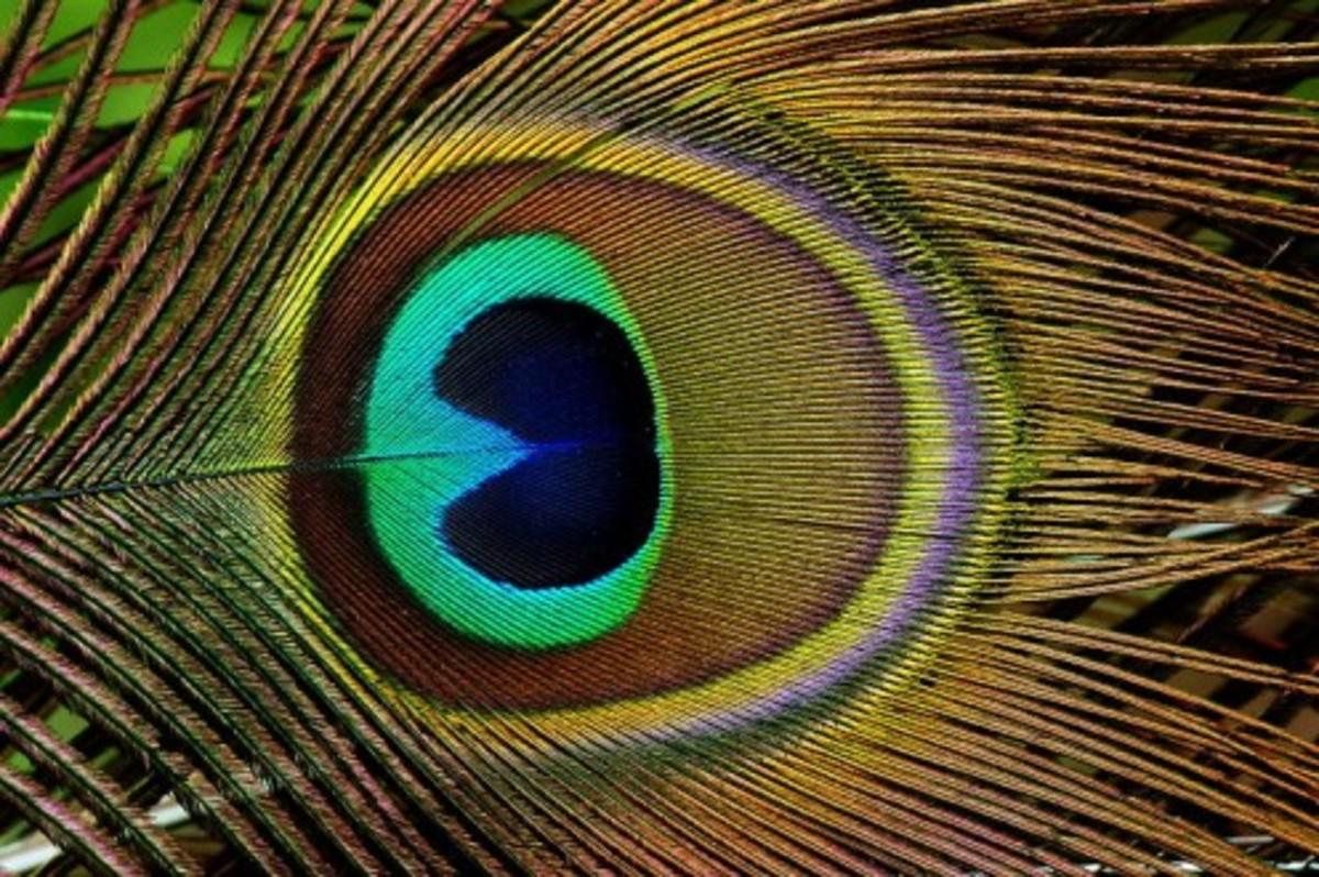 "Peacock feather's ""eye"""