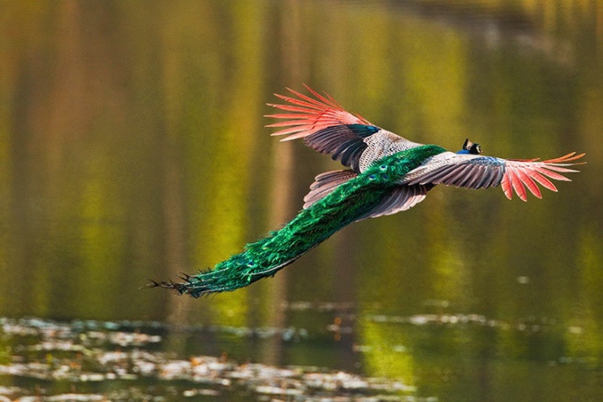 The peacock is one of the largest flying birds