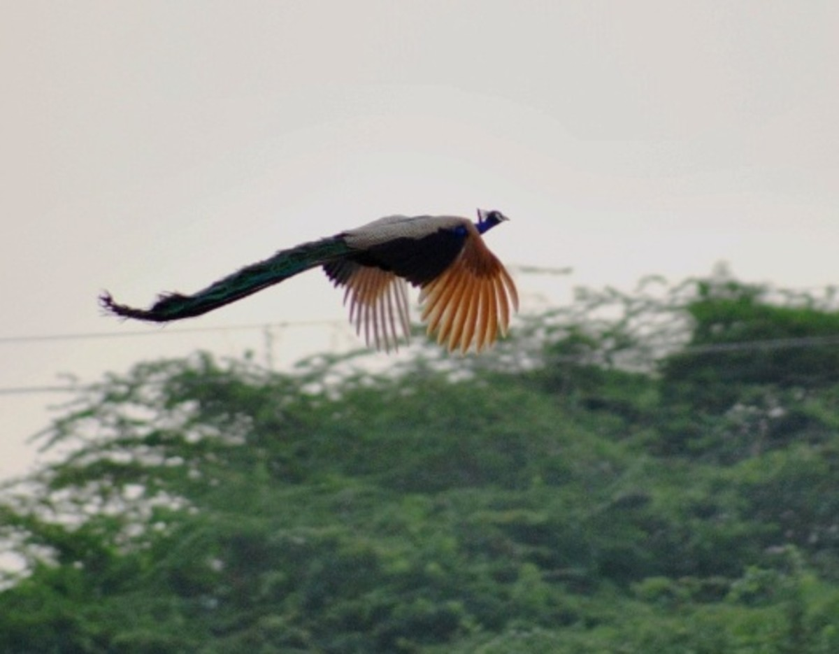 Indian peacock in flight.
