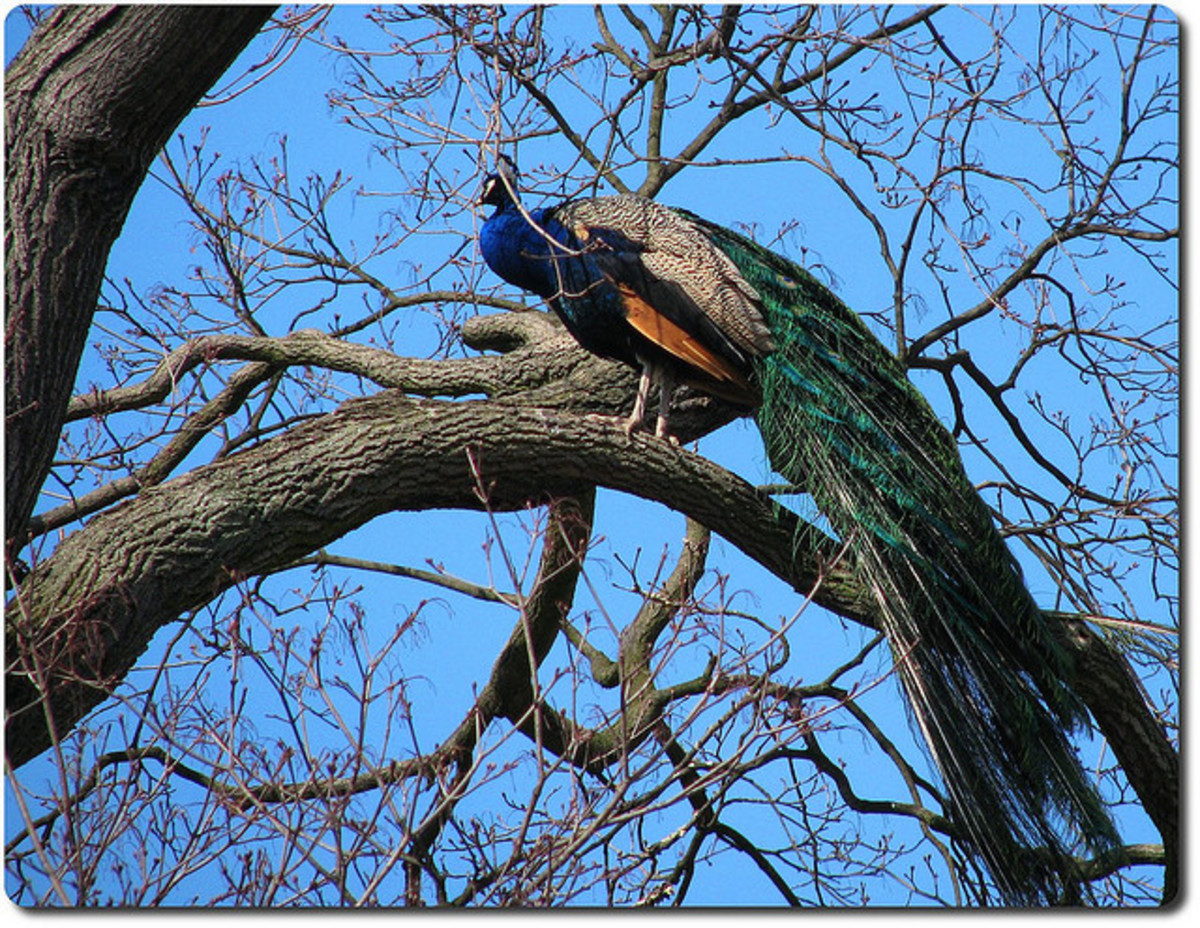 Peacocks can fly and nest in trees.