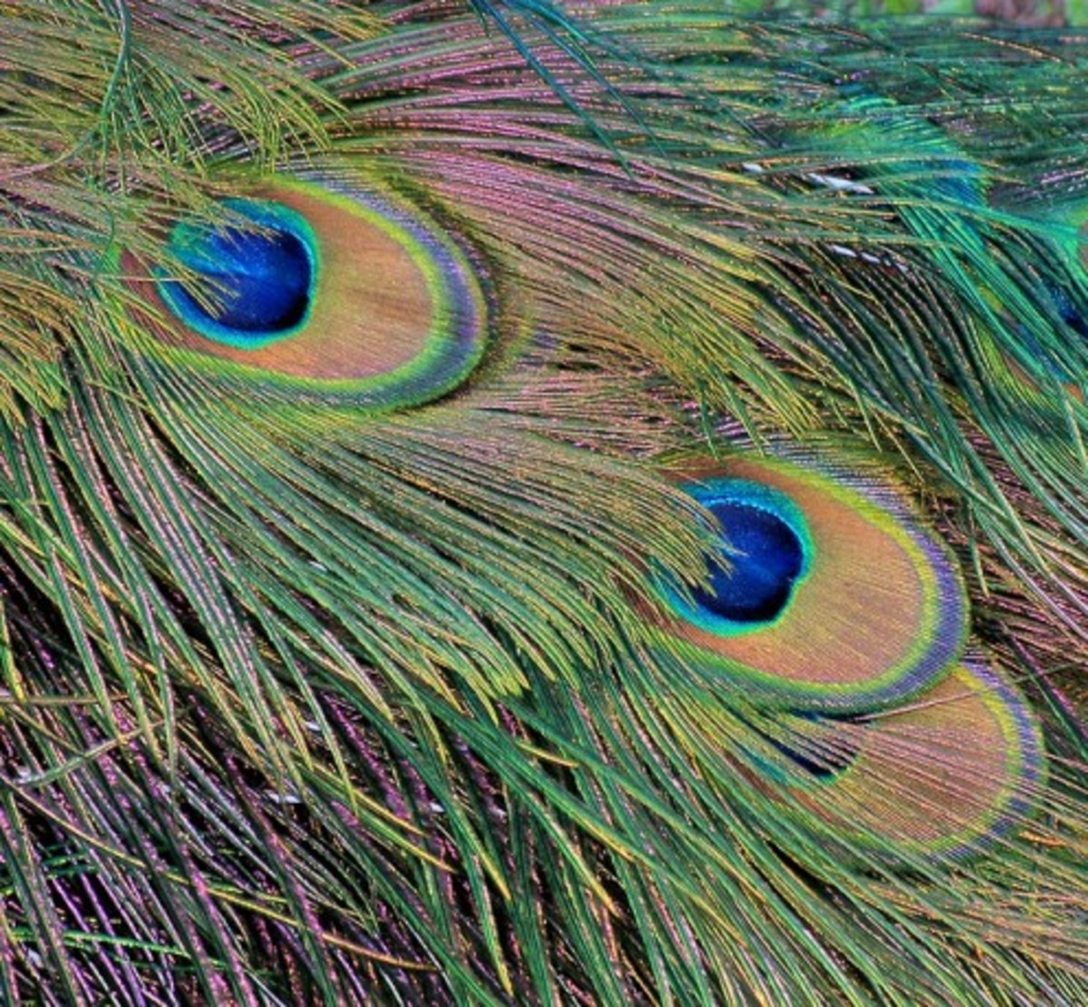 Pavo muticus feathers.