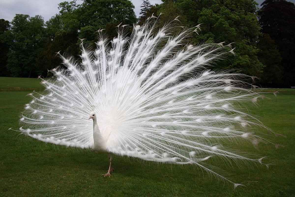 Leucistic peacock display