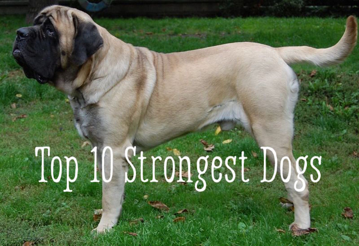 A Mastiff is among one of the top 10 strongest dogs.