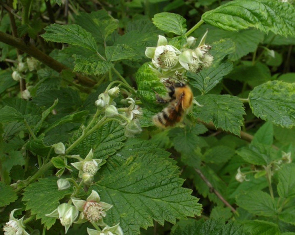 a common carder bumblebee feeds from raspberry flowers which bumble bees love.