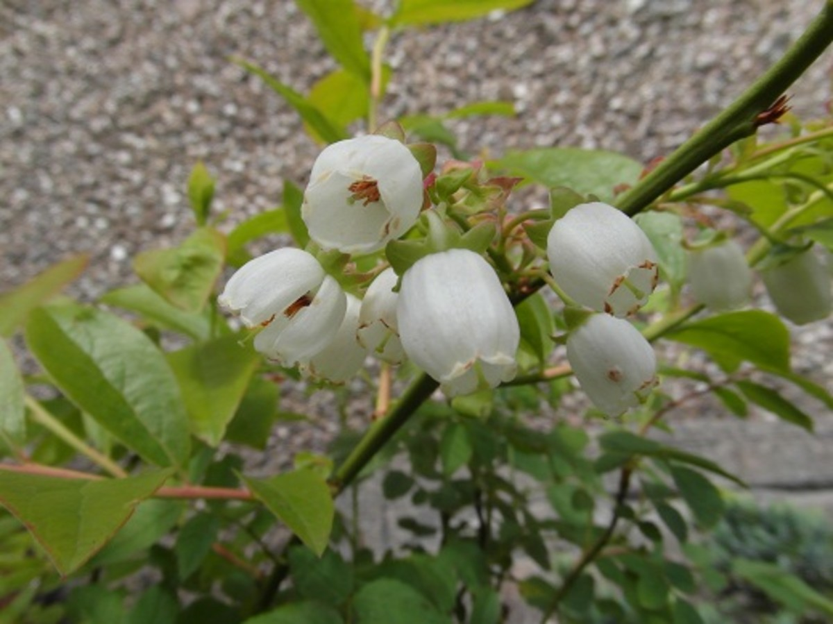 Blueberry flowers - despite being small and unshowy, blueberry flowers are good for bumble bees