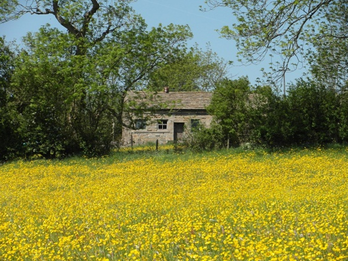 Wild flower meadows, such as this buttercup meadow, are great for bumble bees.