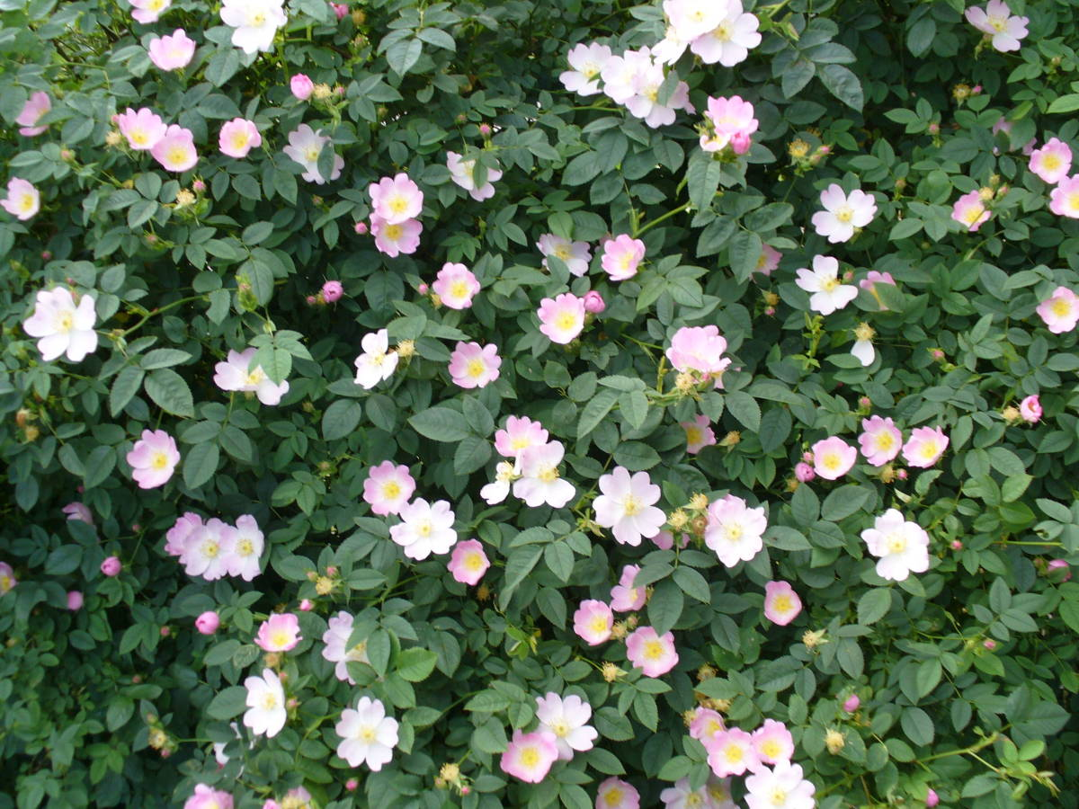 The dog rose is also popular with bumble bees
