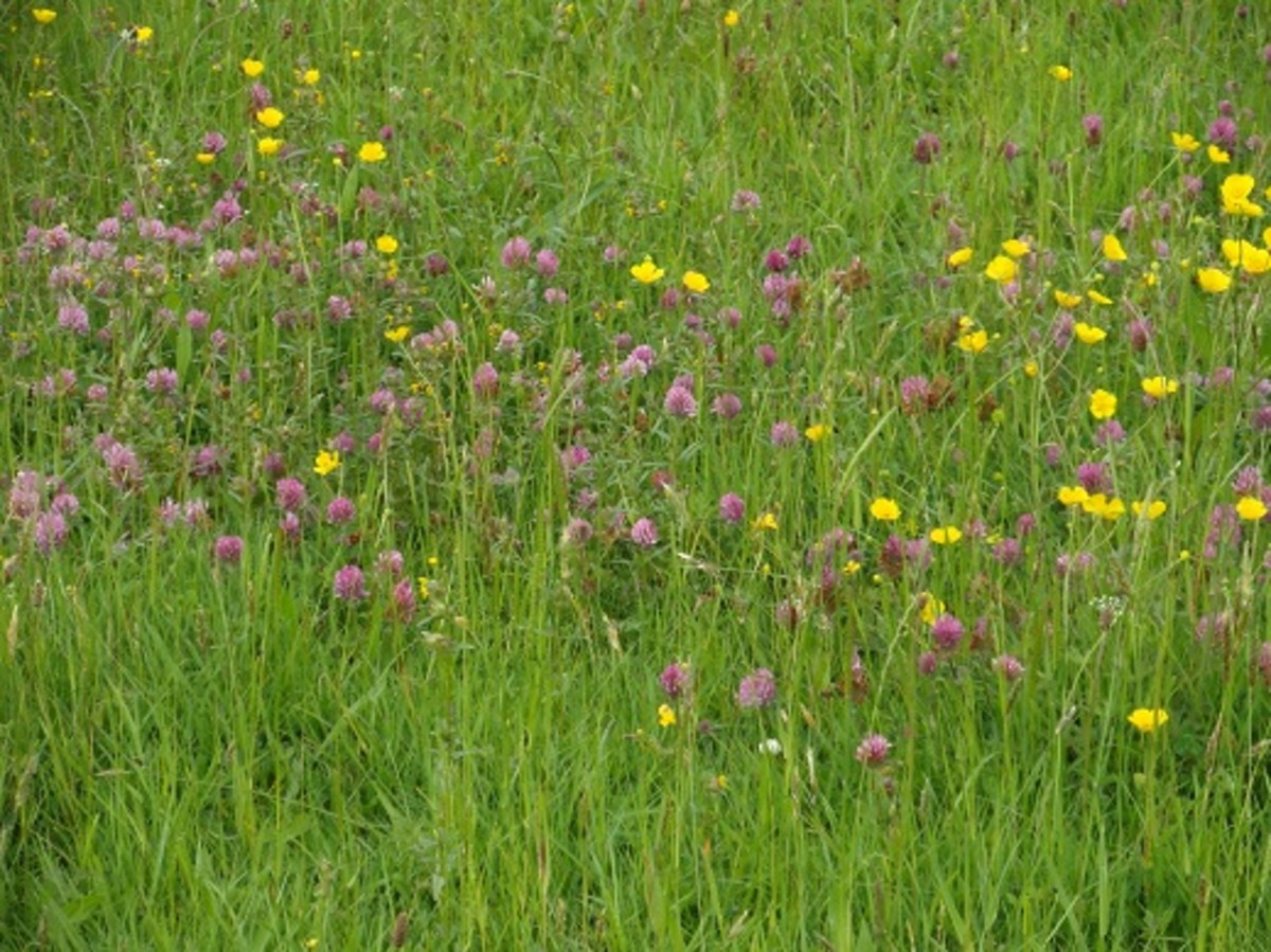 The clover in this flower rich grassland is especially attractive to bumble bees