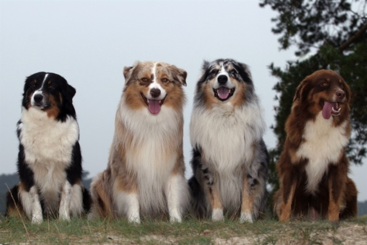 Types of Australian Shepherd Dogs