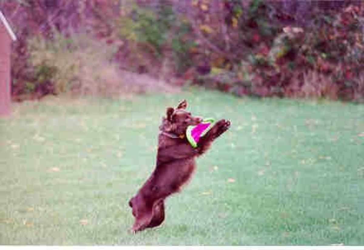 An all Red Aussie playing Frisbee.