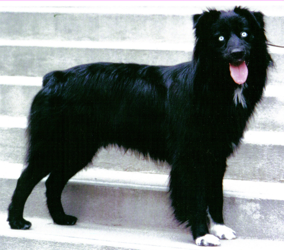 A black Australian Shepherd with white paws