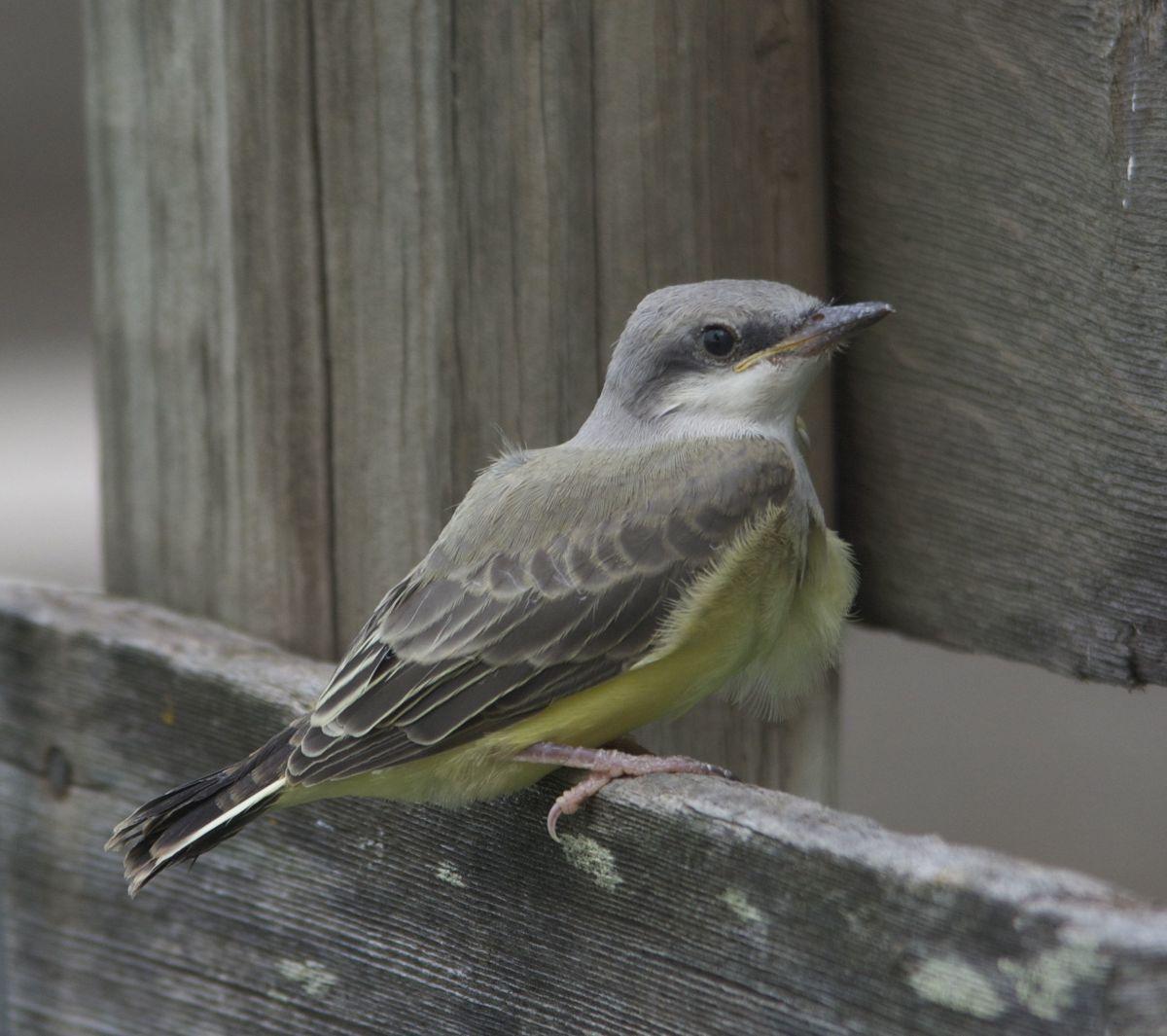 Western Kingbird Fledgling
