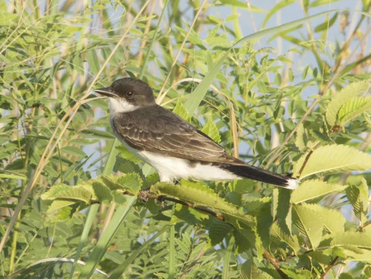 The Eastern and Western Kingbirds, Similarities and Differences