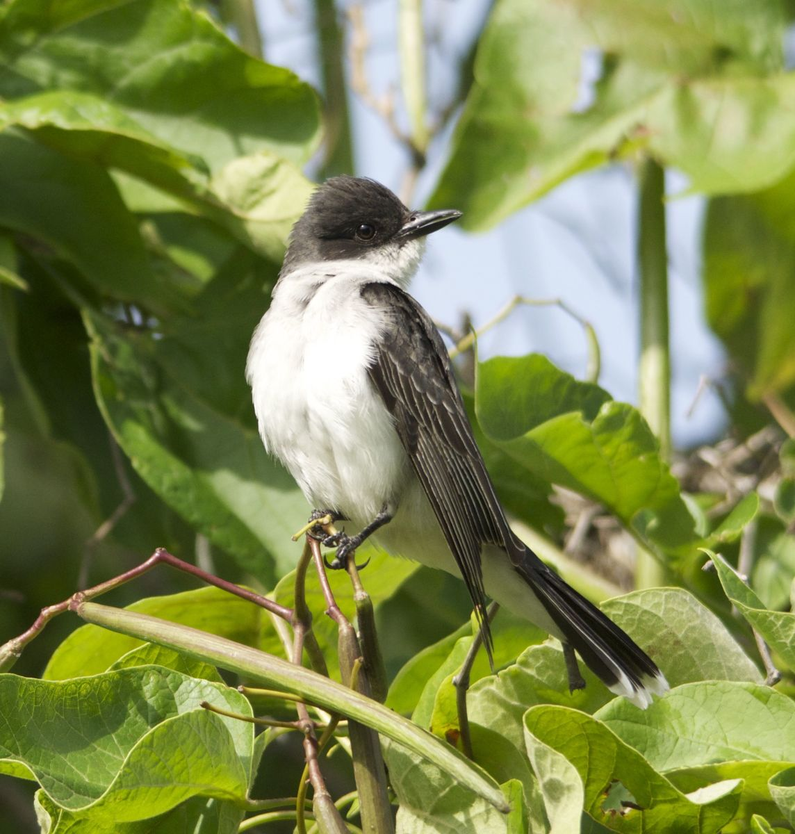 Eastern Kingbird Portrait