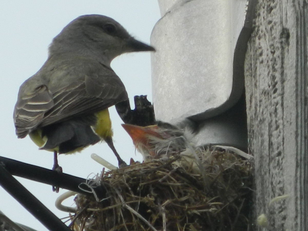 Western Kingbird with Nastlings