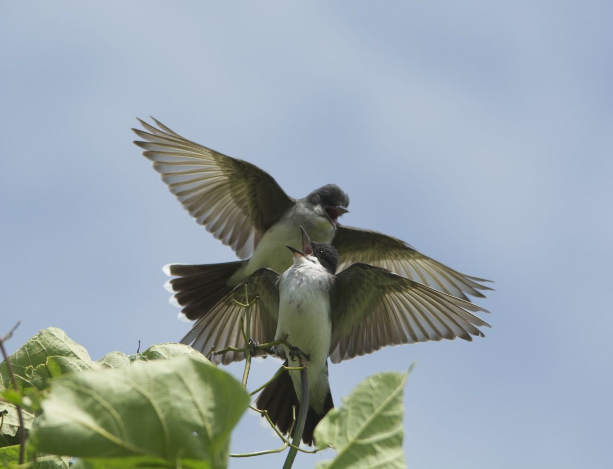 Eastern Kingbird Pair